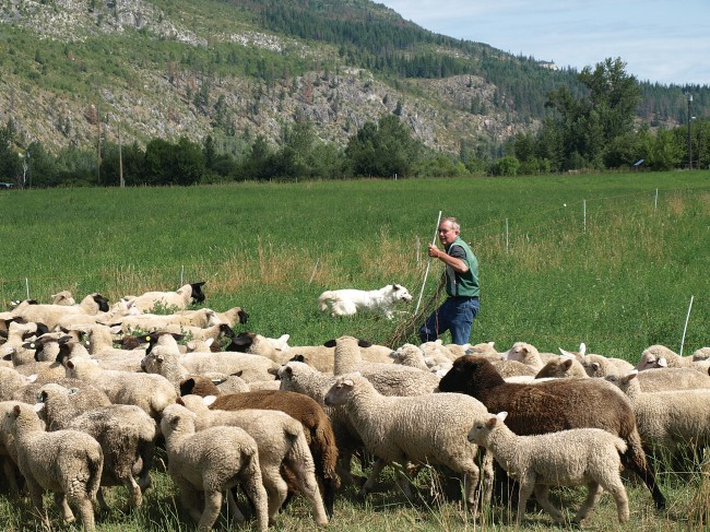 Sheep Canada