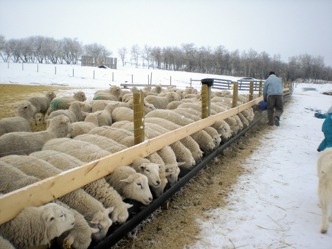 """Claude built these fenceline feeders from 12"""" gas pipe, cut in half. Mounted with lag bolts, the 2 x 4s are easily adjustable for sheep of different sizes. The ewe lambs occasionally knock hay cubes over the back of the feeder, and Claude later added a plywood backboard to reduce feed wastage. Photo by Kathleen Raines."""